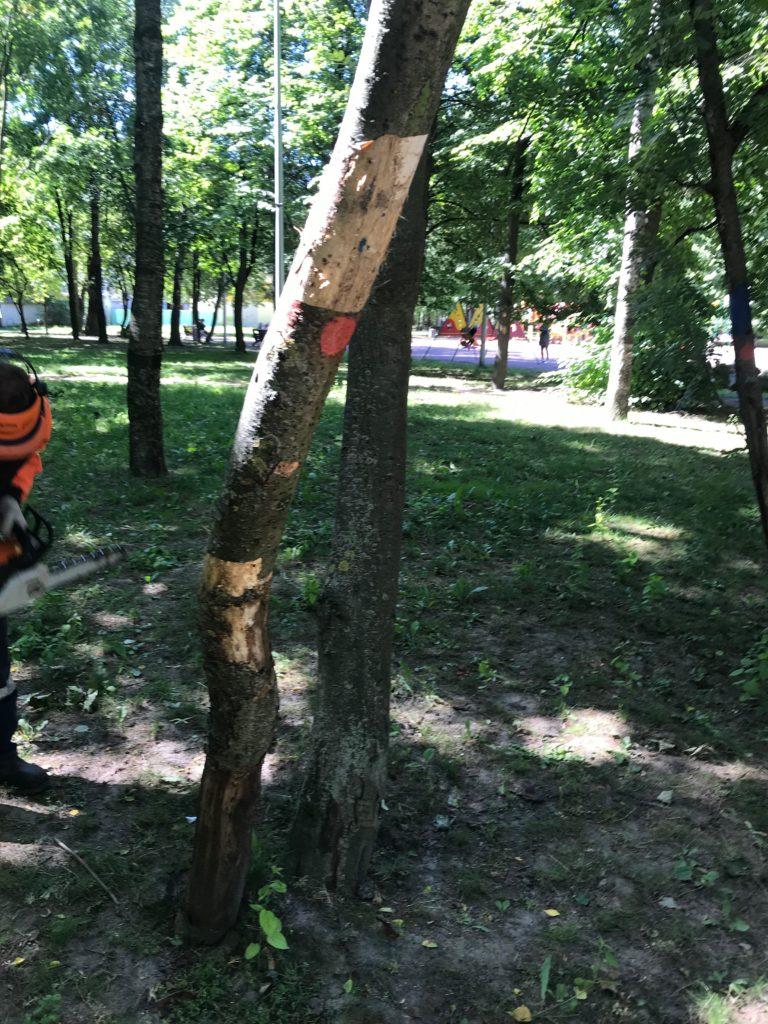Начата рубка деревьев